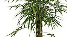 Bambus Bambusa Kaufen 123zimmerpflanzen