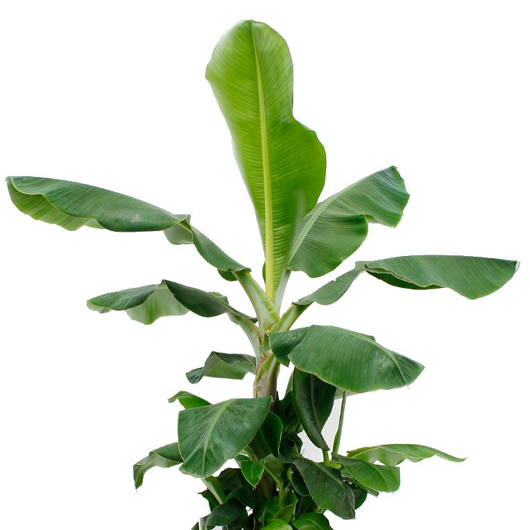 Bananenpflanze online bestellen