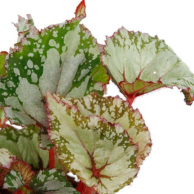 Begonia kaufen?
