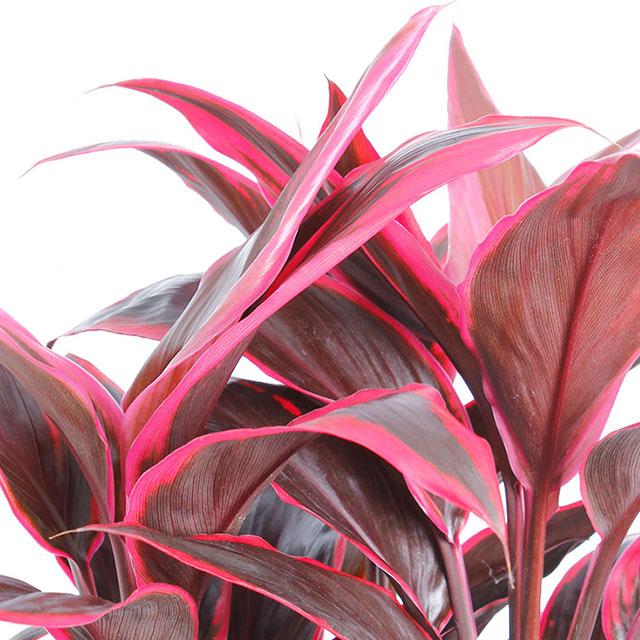 Cordyline Keulenlilie kaufen