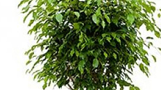 Ficus Benjamina kaufen