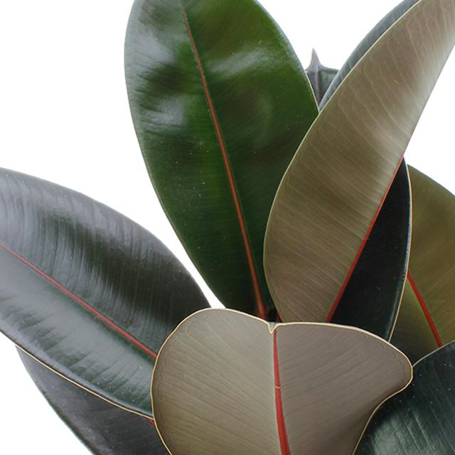 Ficus elastica kaufen?