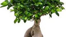 Ficus Microcarpa kaufen