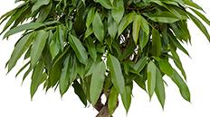 Ficus online kaufen