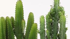 Großer Kaktus kaufen