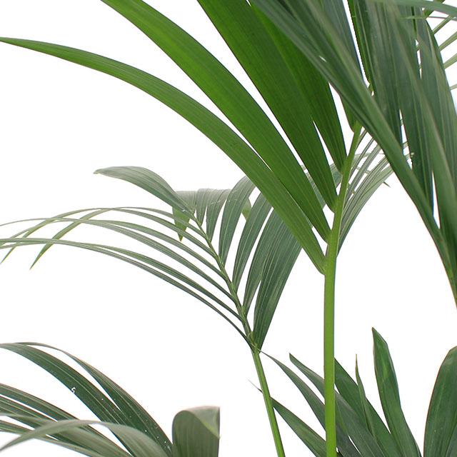 123zimmerpflanzen Online Zimmerpflanzen Und Pflanzgefasse Kaufen