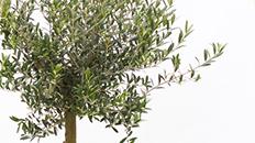 Olivenbaum bestellen