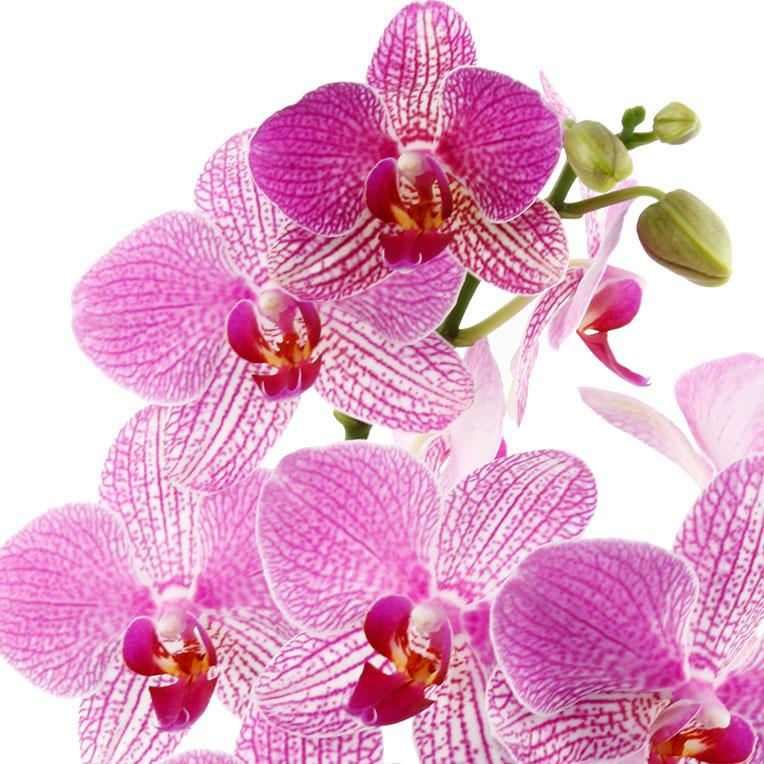 orchidee kaufen