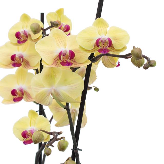 Orchidee kaufen?
