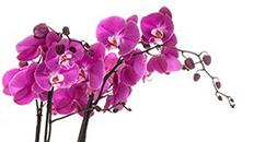 Orchidee online kaufen