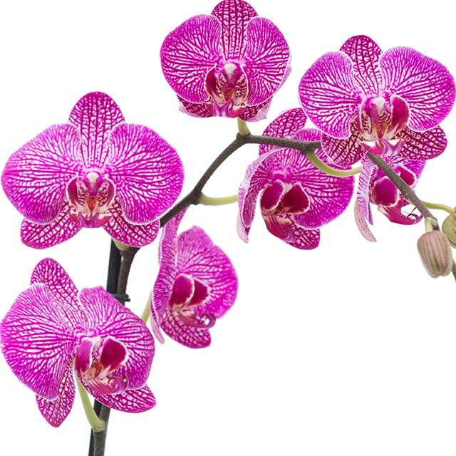 Orchidee Phalaenopsis kaufen?