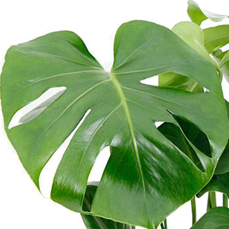 Philodendron kaufen