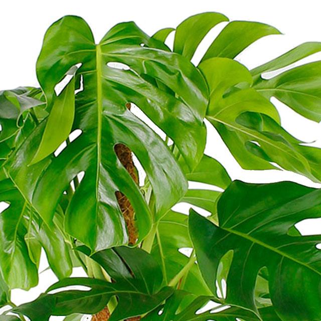 Tipp zimmerpflanzen kaufen 123zimmerpflanzen for Zimmerpflanzen wohnzimmer