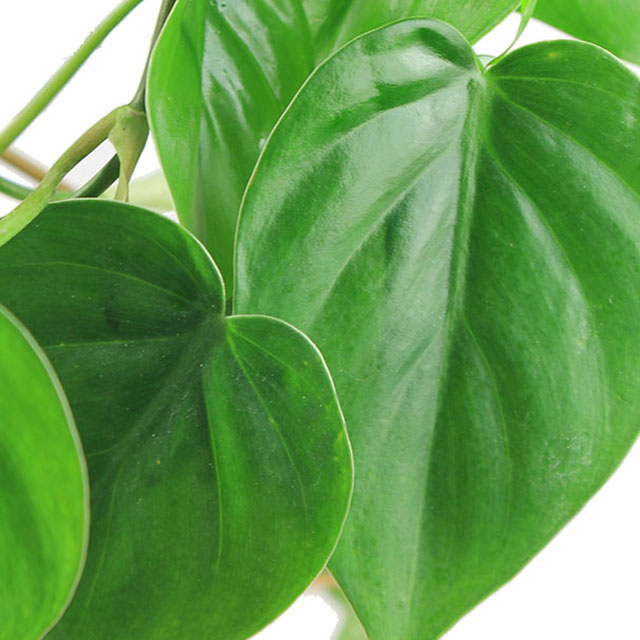 Philodendron Scandens kaufen?