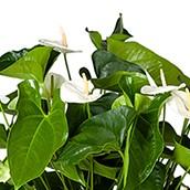 Hydrokultur Anthurium kaufen