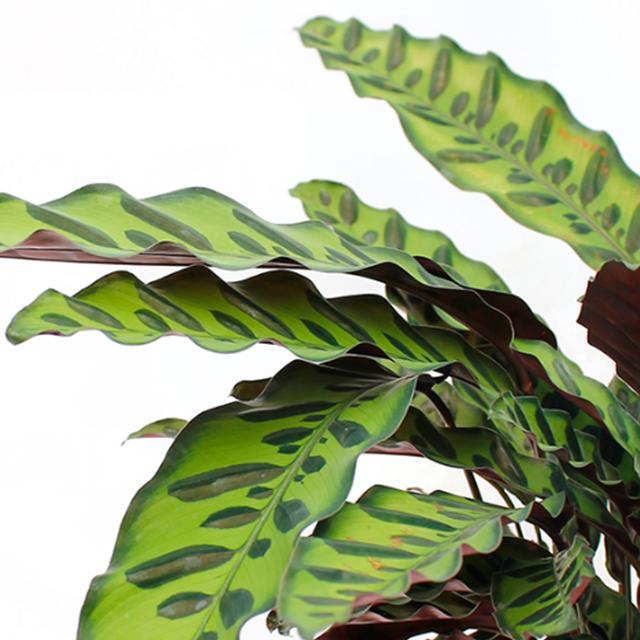 Hydrokultur Calathea kaufen