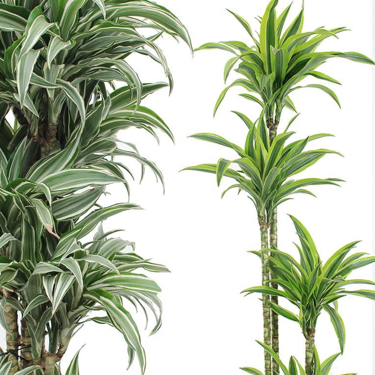 Hydrokultur Drachenbaum kaufen