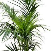 Hydrokultur Kentia Palme bestellen