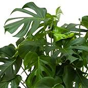 Hydrokultur Philodendron kaufen