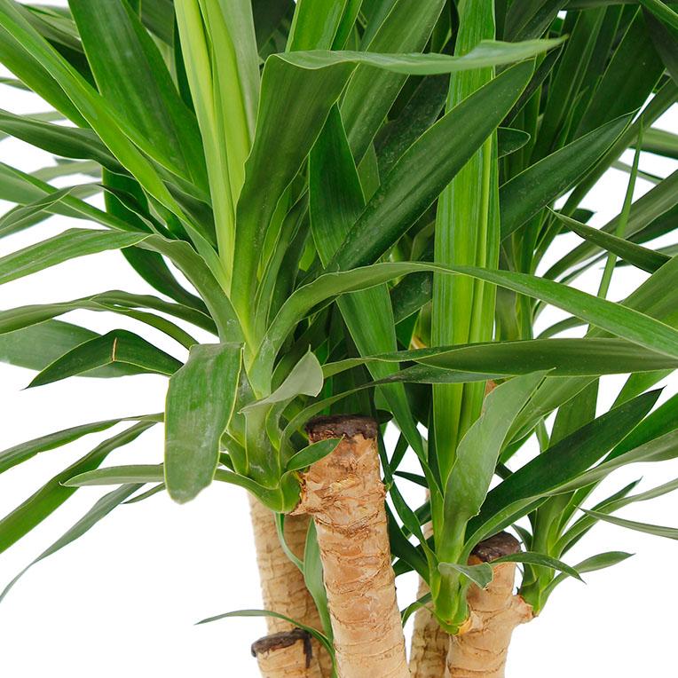 Yucca in Hydrokultur kaufen