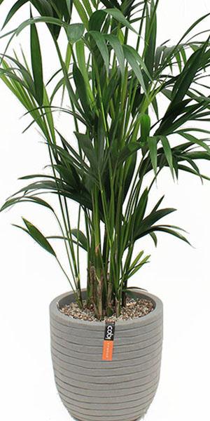 Kentia palme in Capi Pflanzgefäße