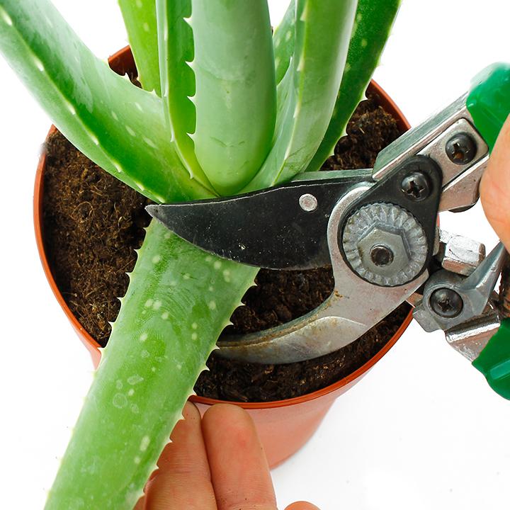 Aloe-vera-schneiden