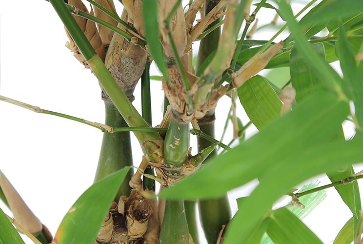 Blühende Bambus