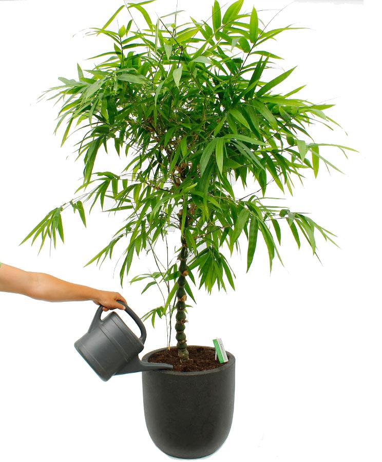 Bambus Pflege 123zimmerpflanzen