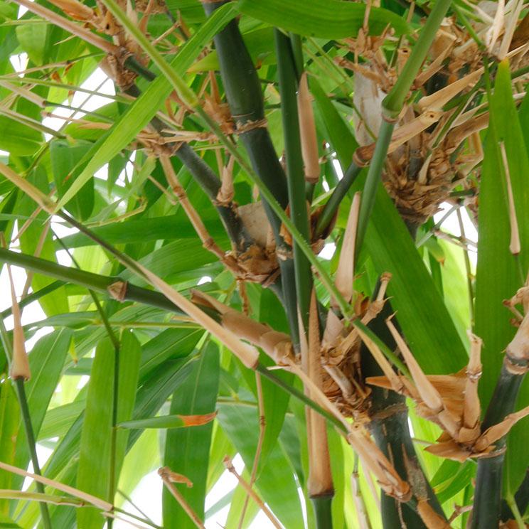 Bambus Standort