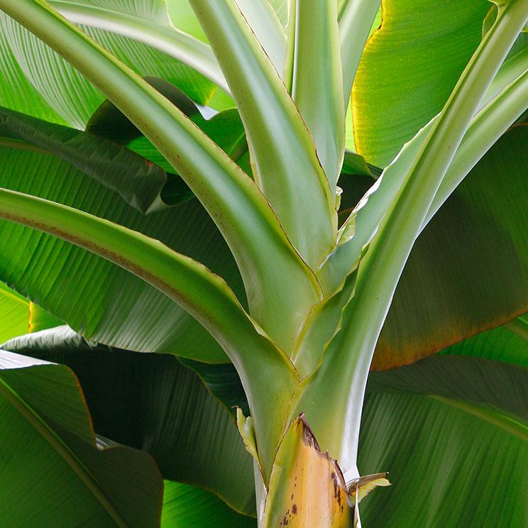 Bananenpflanze Wartung