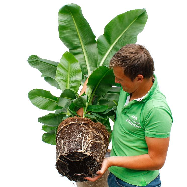 Bananenpflanze Umtopfen