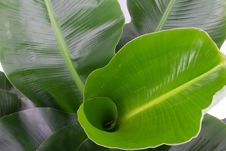 Düngen für Bananenpflanze