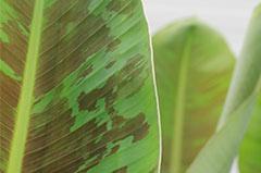 Bananenpflanze Standort