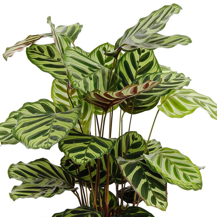 Calathea vermehren