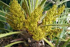 Blühende Chamaerops Humilis