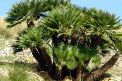Chamaerops Humilis Standort