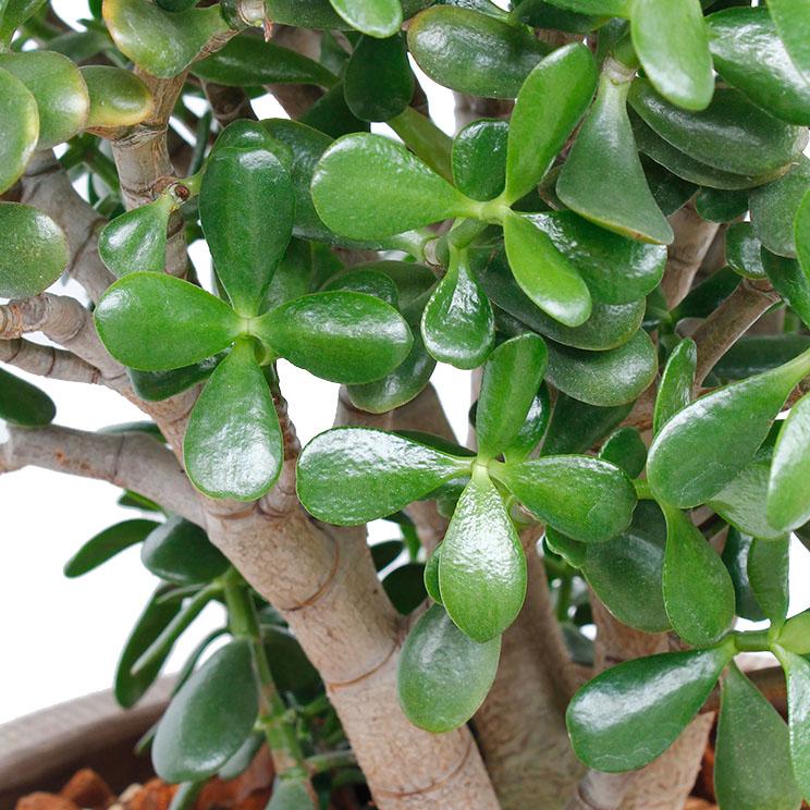 judasbaum giftig