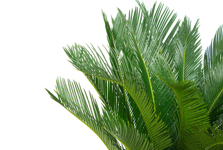 cycas palmfarne pflege 123zimmerpflanzen. Black Bedroom Furniture Sets. Home Design Ideas