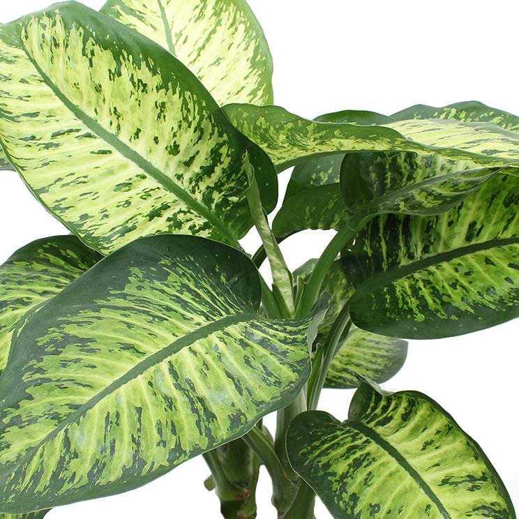 dieffenbachia dumm zuckerrohr pflege 123zimmerpflanzen. Black Bedroom Furniture Sets. Home Design Ideas