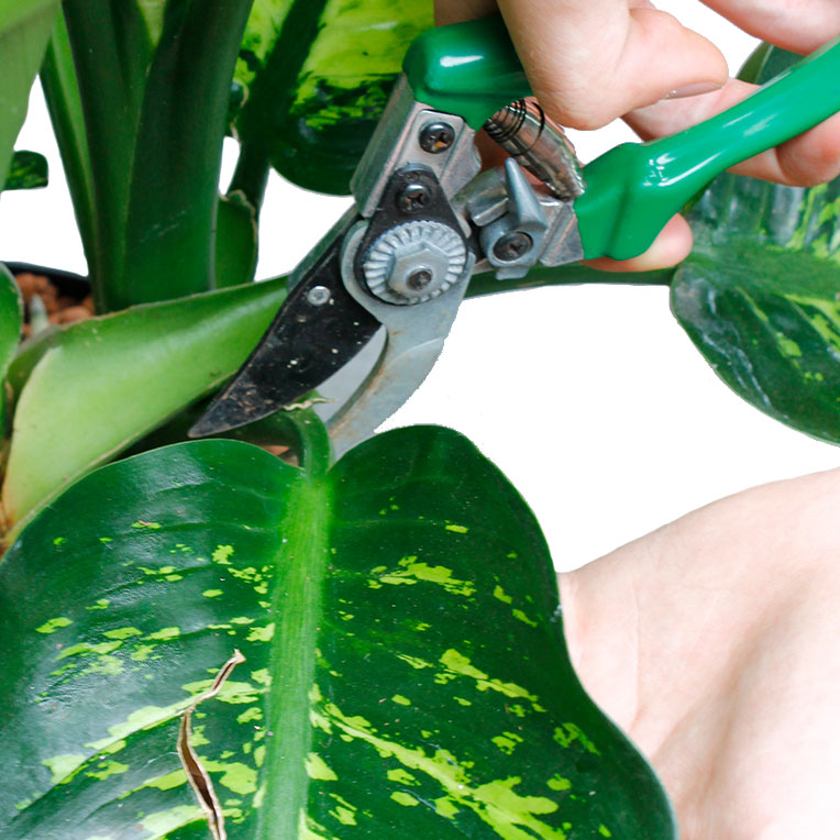 dieffenbachia dumm zuckerrohr pflege. Black Bedroom Furniture Sets. Home Design Ideas