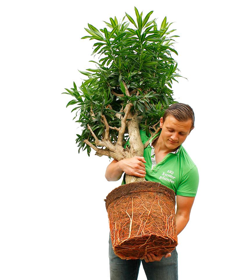 Drachenbaum Umtopfen