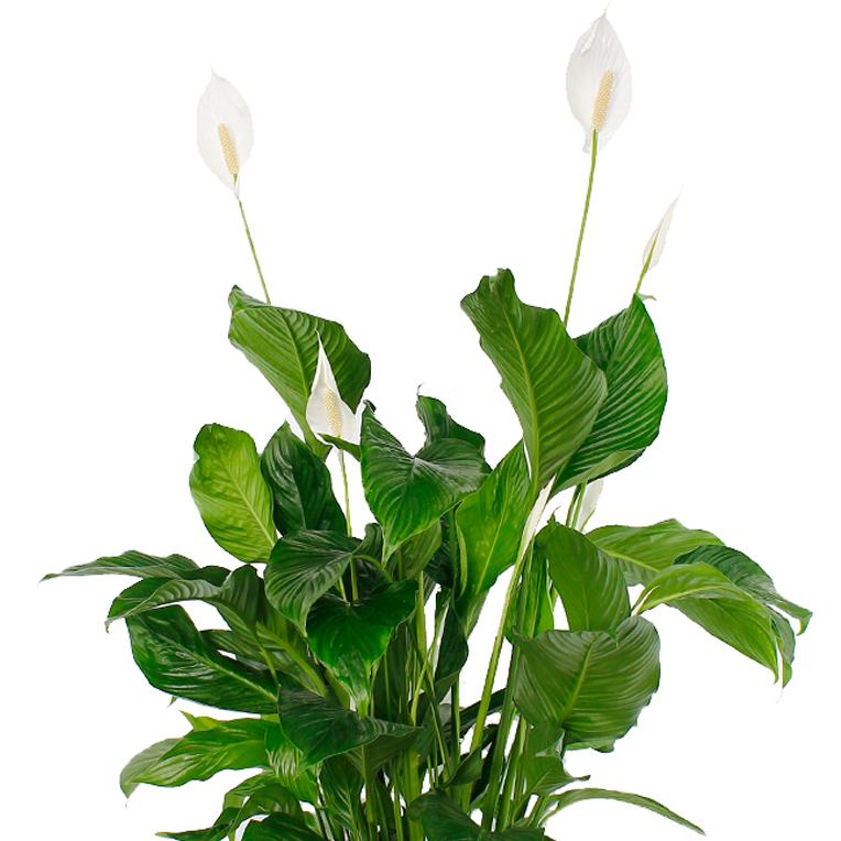 einblatt spathiphyllum pflege 123zimmerpflanzen. Black Bedroom Furniture Sets. Home Design Ideas