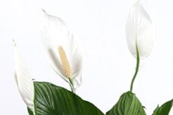 Blühende Einblatt