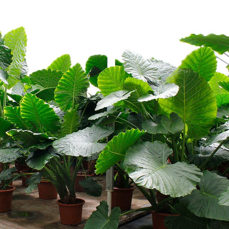 Alocasia Elefantenohr Pflege 123zimmerpflanzen