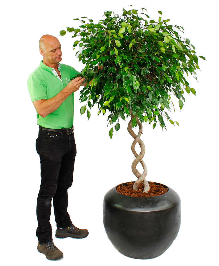 Blühende Ficus