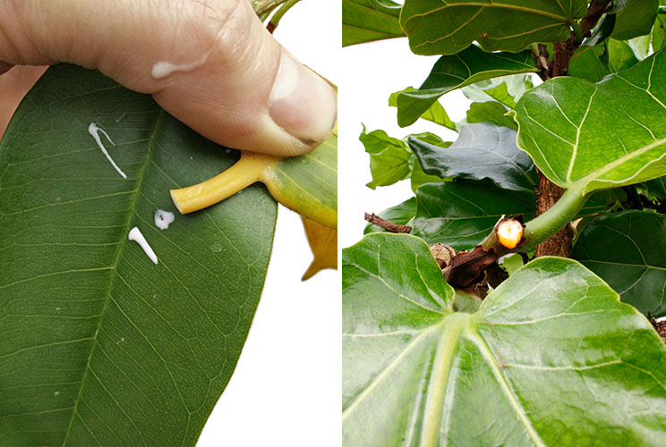 Ficus Wartung