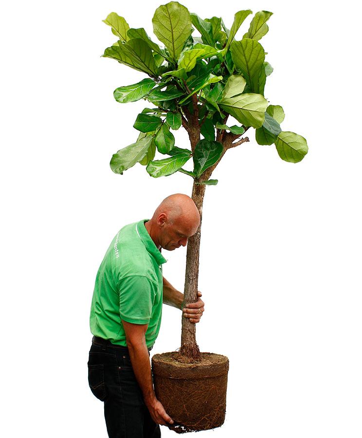 Ficus Umtopfen
