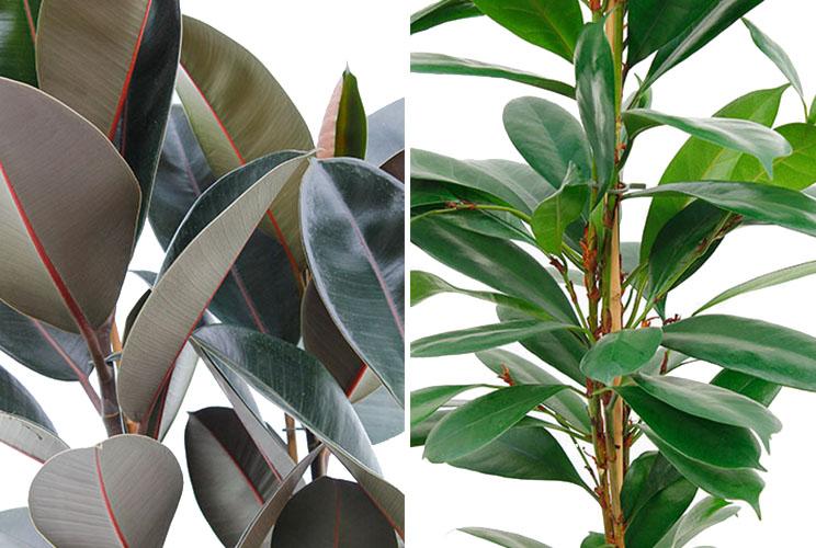 Düngen für Ficus