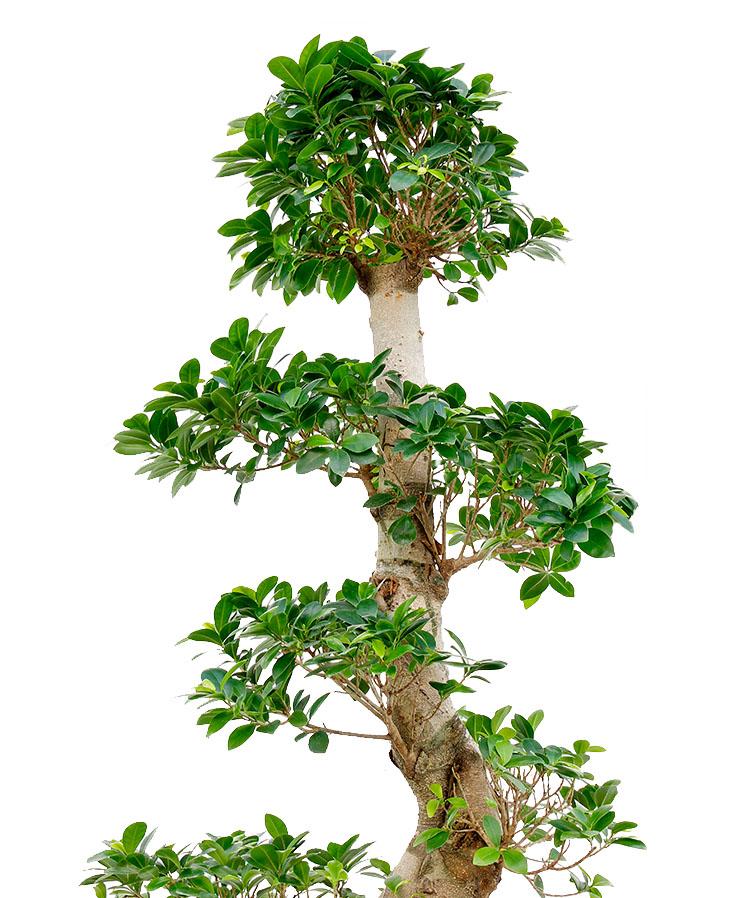 Ficus Standort