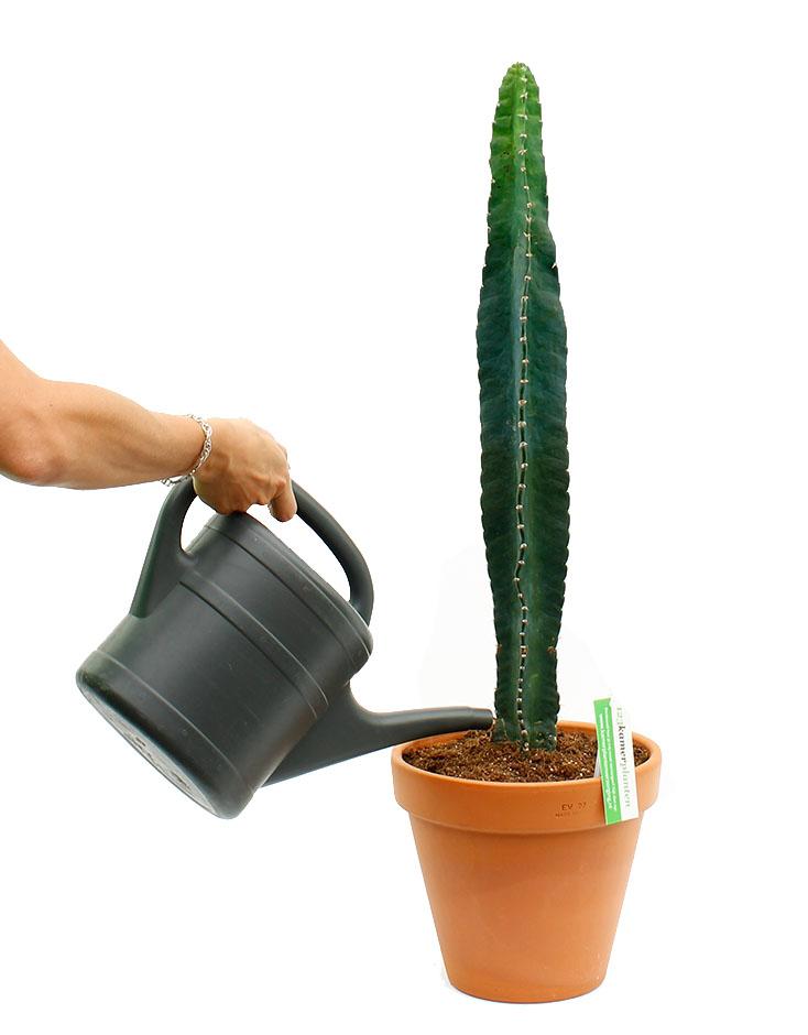 Kaktus Gießen